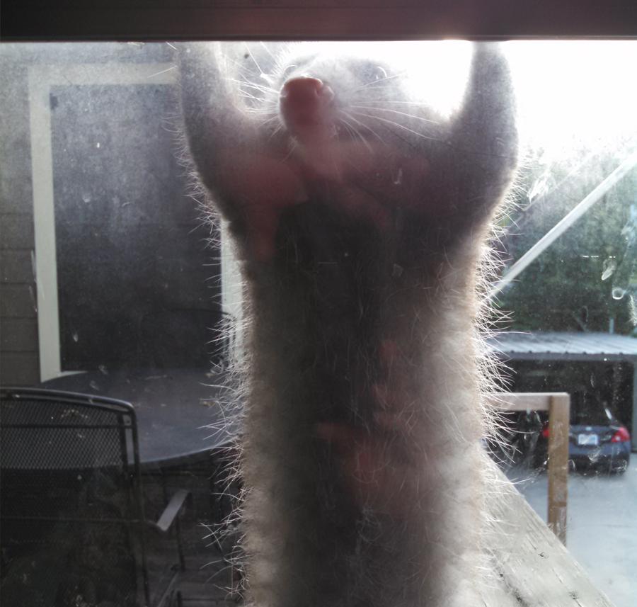 Mr Possum